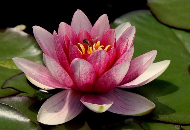 Significado Flor de Loto